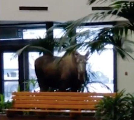 moose walks in hospital