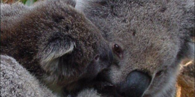 Mother and young koala,