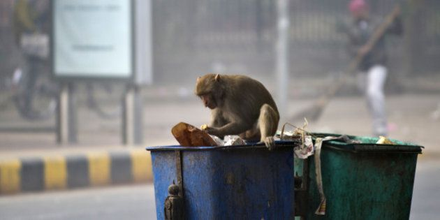 A macaque monkey searches for eatables at a dustbin in New Delhi on January 14, 2014. Thousands of monkeys...