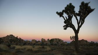 JOSHUA TREE NATIONAL PARK, CA - JANUARY 04:  A Joshua tree stands at Joshua Tree National Park on January 4, 2019 in Joshua Tree National Park, California. Campgrounds and some roads have been closed at the park due to safety concerns as the park is drastically understaffed during the partial government shutdown.  (Photo by Mario Tama/Getty Images)