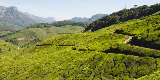 Tea plantation, Munnar, Idukki, Kerala, India. (Photo by: Exotica.im/UIG via Getty