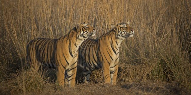 Tiger Population Increases By 30% In India Since