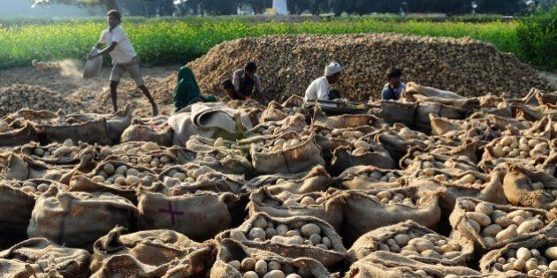 Indian farmers sort harvested potatoes in a field in the village of Fafamau on the outskirts of Allahabad...