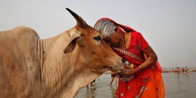 A woman worships a cow as Indian Hindus offer prayers to the River Ganges, holy to them during the Ganga...