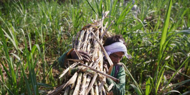 A farm worker carries a bundle of sugarcane to a cart during a crop harvest in a field in the district...