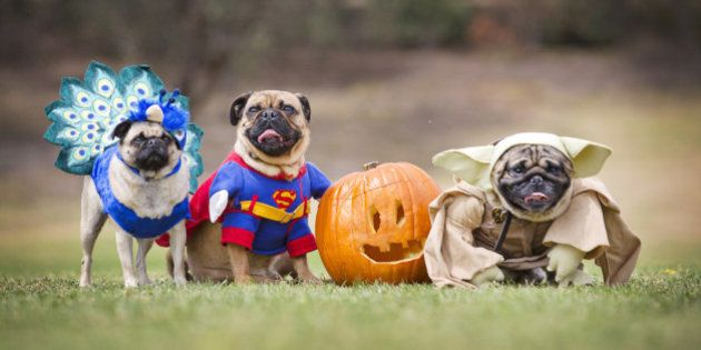 MELBOURNE, AUSTRALIA - OCTOBER 26: (EUROPE AND AUSTRALASIA OUT) (L-R) Pugs 'Tootsie', 'Basil' and 'Kevin'...