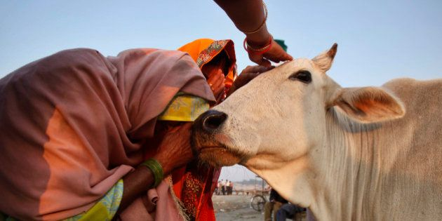 """Hindu devotees pray to a cow on """"Somvati Purnima"""" or a full moon day that falls on a Monday at Sangam..."""