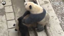 Giant Pandas Make Good Use Of Opportunity, Mate Successfully At Chinese Research