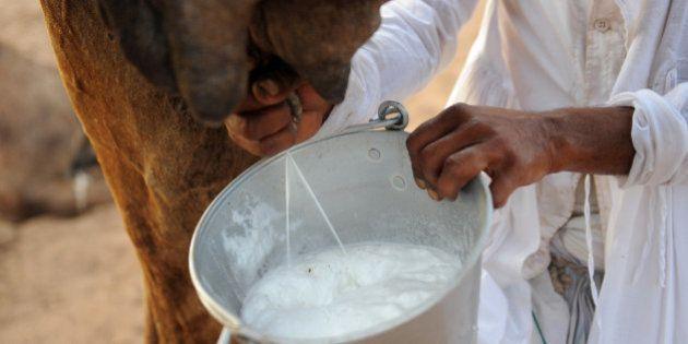 Indian camel herder Ranchodbhai Desai milks a camel in the village of Solaiya in Gandhinagar district,...