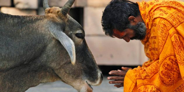 A Hindu holy man worships a cow after bathing in Saryu River in Ayodhya, India, Saturday, Oct. 2, 2010....