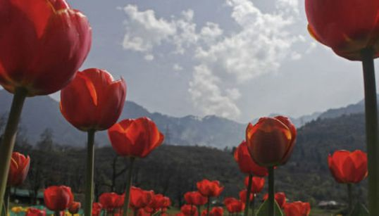 Flower Power: A Walk Through Asia's Largest Tulip