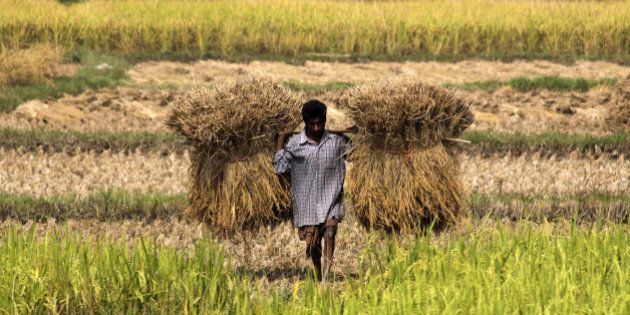 A villager carries harvested rice in a paddy field on the outskirts of Bhadrak village, about 130 kilometers...