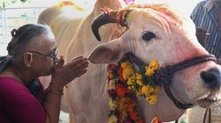 Holy Cow! Is The Cow Set To Replace The Tiger As India's National