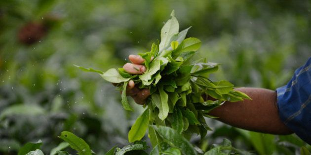 In this photograph taken on June 6, 2013, An Indian woman plucks leaves from tea shrubs at a tea garden...