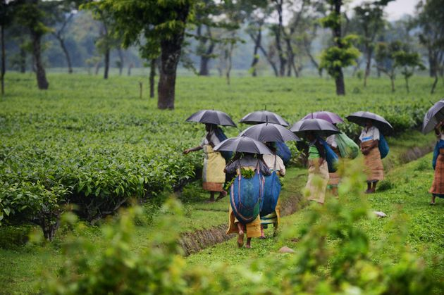 Climate Change Is Slowly Killing Assam's Tea