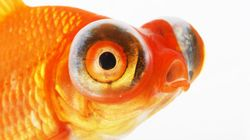 Human Attention Spans Now Lower Than A Goldfish, Microsoft Study