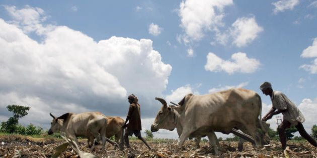 Kolkata, INDIA: Indian farmers use a 'Langal', a traditional bullock cart to cultivate their land in...