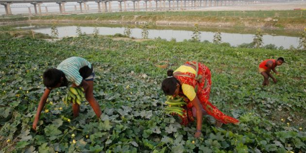 Indian farmers harvest vegetables at a field on the outskirts of Allahabad, in the northern Indian state...