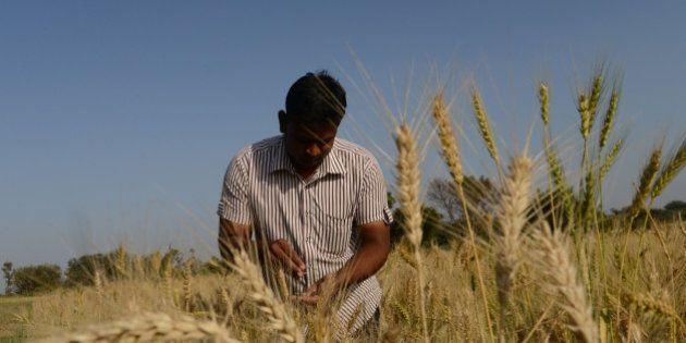 Indian farmer Vijaybhai Patel checks the quality of wheat at his field at Dhamasana village of Kalol...