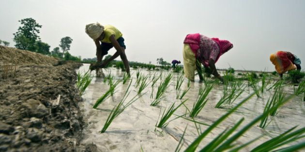 Indian farmers sow a paddy in a field in Goralhpur, Uttar Pradesh on June 27, 2012. Monsoon rains are...