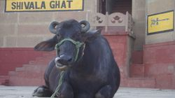 Thief Who Stole Uttar Pradesh Minister Azam Khan's Buffaloes Has Been Found After Year-Long