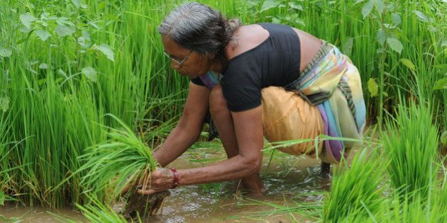 An Indian farmer works in a paddy field near Saputara, some 400 kms from Ahmedabad, on August 3, 2012....