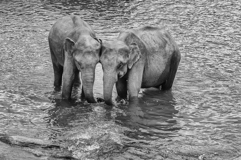 Photos: Rendezvous With The Gentle Giants Of Pinnawala Elephant Orphanage, Sri