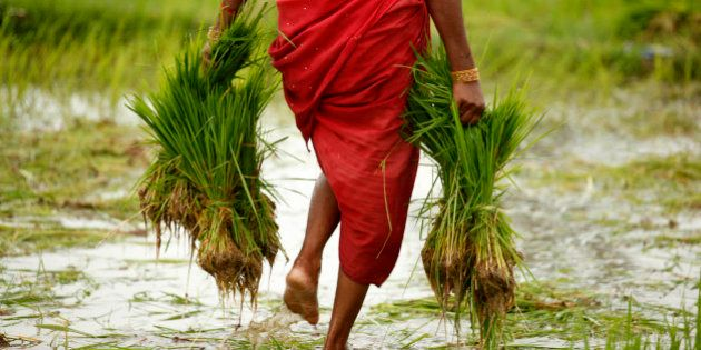 A farmer woman carries paddy to sow in a field at Kunwarpur village about 70 kilometers (44 miles) east...