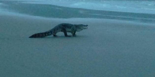 Man On Morning Walk Spots Crocodile On Goa's Morjim