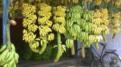 Podcast: Vikram Doctor On The Endangered Indigenous Banana Varieties Of
