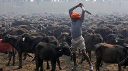 Killings No More In Nepal Gadhimai