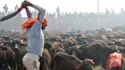 Animal Slaughter Ban At Gadhimai: What We Must Do