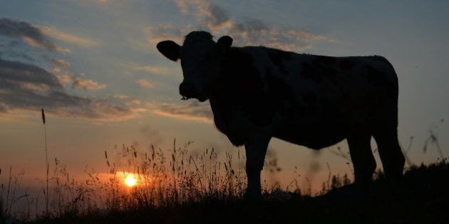 A cow is silhouetted against the rising sun as it stands on a pasture at the Loferer Alm, in the Austrian...
