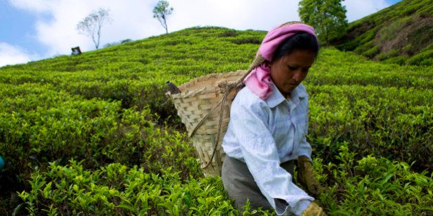 MAKAIBARI, DARJEELING, WEST BENGAL, INDIA - 2015/03/31: A woman plucks tea leaves at Makibari tea garden....