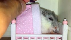 Lap Of Luxury: Pet Hamster Refuses To Sleep Without Customary