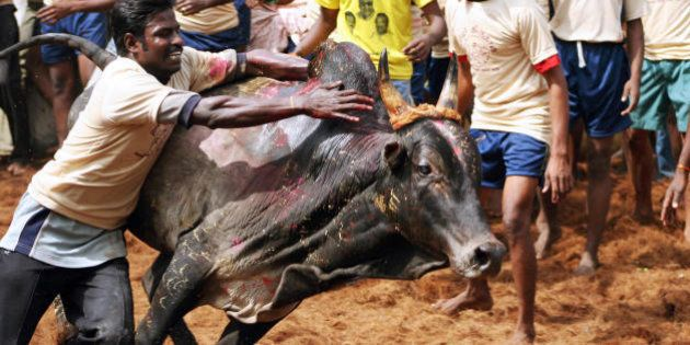 Palemedu, INDIA: An Indian youth attempts to tame a bull during the annual Jallikattu bull-taming festival...