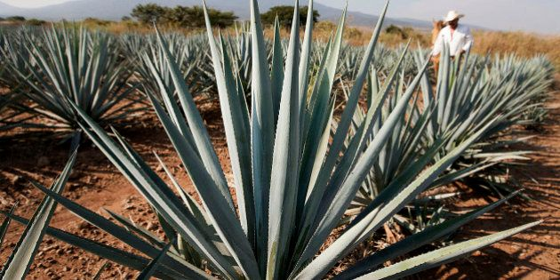 Tequila agave plants, also known as blue agave, grow in a field owned by Tequila Cuervo La Rojena S.A....