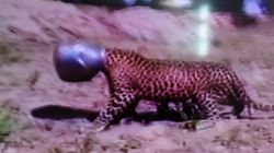 Thirsty Leopard Gets Its Head Stuck In Metal Pot, Rescued After 6 Claustrophic