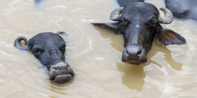 The water buffalo or domestic Asian water buffalo (Bubalus bubalis) is a large buffalo found on the Indian...