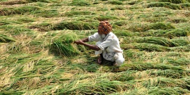 PATIALA, INDIA - SEPTEMBER 21: An Indian farmer inspects the paddy crops damaged after heavy rains at...