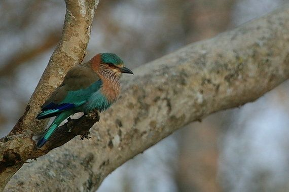 (Un)Lucky For Life: The Tragic Plight Of The Indian Roller During