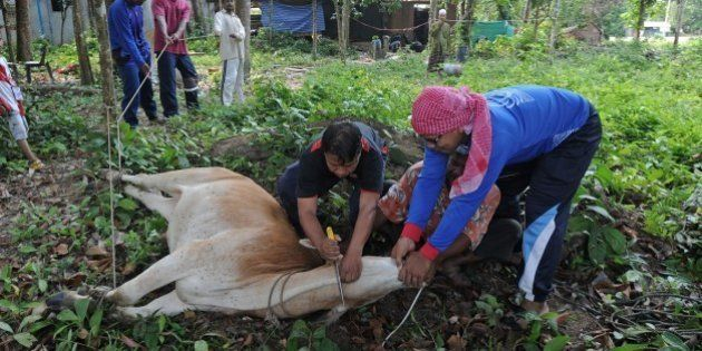 Thai Muslim villagers slaughter a cow during the Eid al-Adha festival in Thailand's southern province...