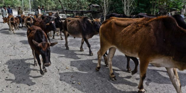 TANGDAR, KASHMIR, INDIA -OCTOBER 08: Muslim residents walk with their cows on October 8, 2015 in Tangdar...