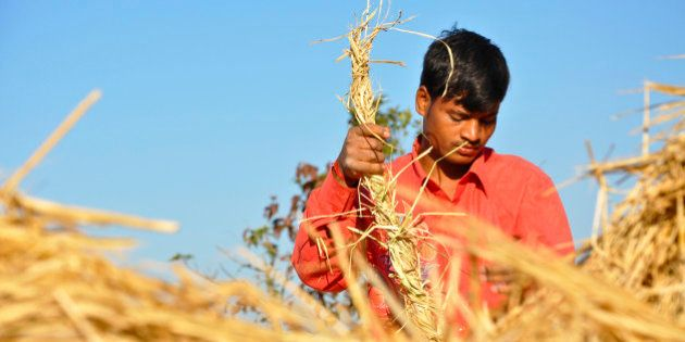 Indian boy working wearing red shirt in the rice field on a sunny