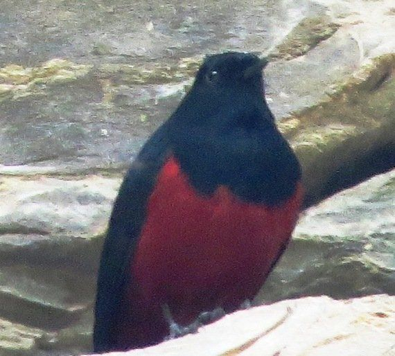 Flirting With The Redstart In Kanatal