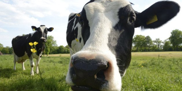 Close-up of two curious cows. Low angle view taken in Friesland, German North Sea