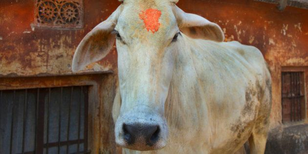 Holy cow wandering near Jaipur monkey