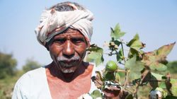 Maharashtra Cotton Growers Federation Expects Bumper Crop This