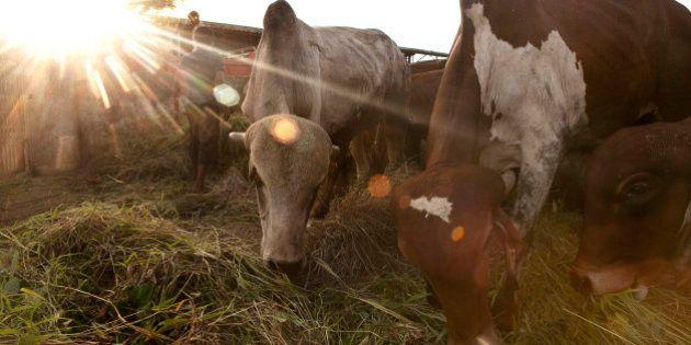ASANGAON, MAHARASHTRA - SEPTEMBER 7: Cows are seen at the Shree Gopala Goshala cow shelter September...