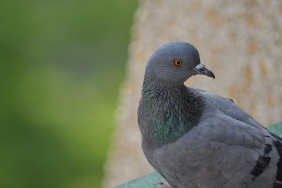 A Pigeon Or A
